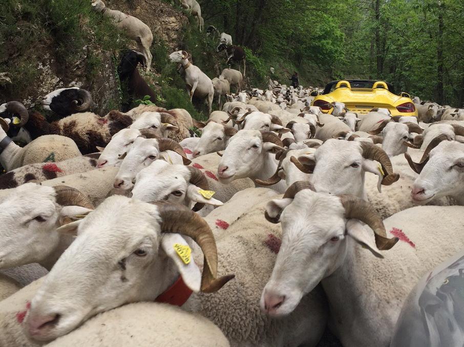 Nous l'avions dit au briefing du matin :  ATTENTION les moutons !